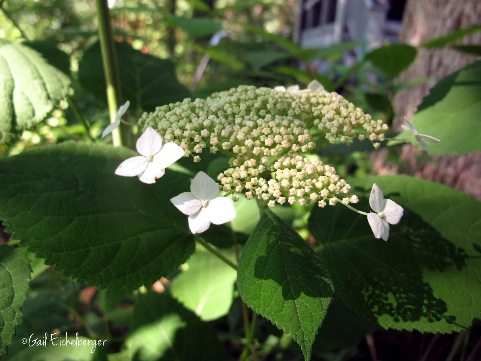 Clay And Limestone Wildflower Wednesday A Fine Native Hydrangea