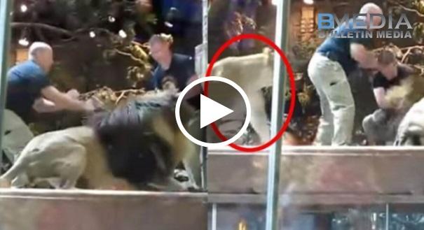 [VIDEO] Seorang Kakitangan Zoo Diserang Singa Jantan. Tiba² Muncul Singa Betina Yang Bertindak Untuk….