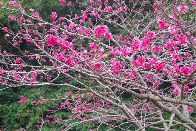 cherry blossoms, Sakura, Okinawa, flowers, festival
