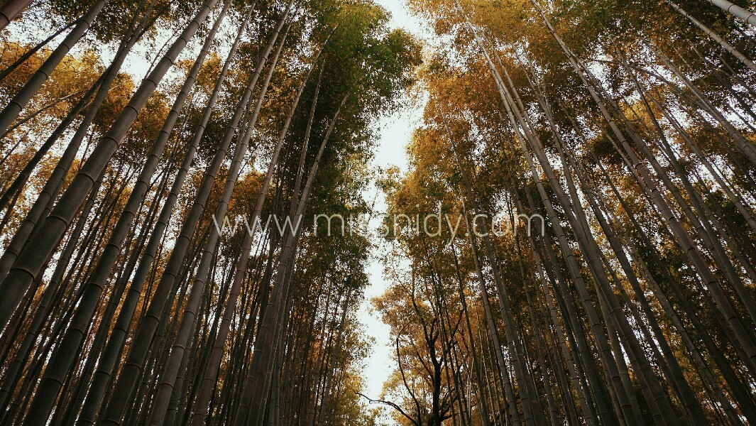 getting to arashiyama bamboo groove