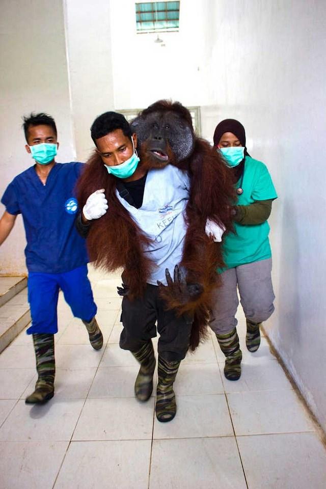 [HONRAR LA VIDA] Voluntarios salvan de morir dos Orangutanes y los llevan de regreso a casa