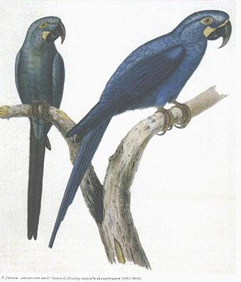 Guacamayo glauco Anodorhynchus glaucus