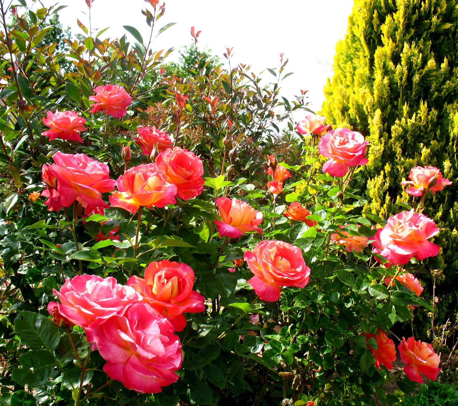 Roses du jardin ch neland for Decoration jardin rosier