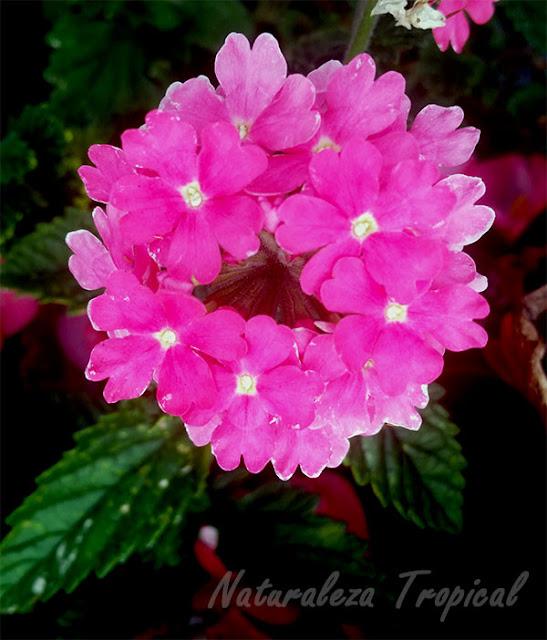 Variedad rosa de las flores de una verbena