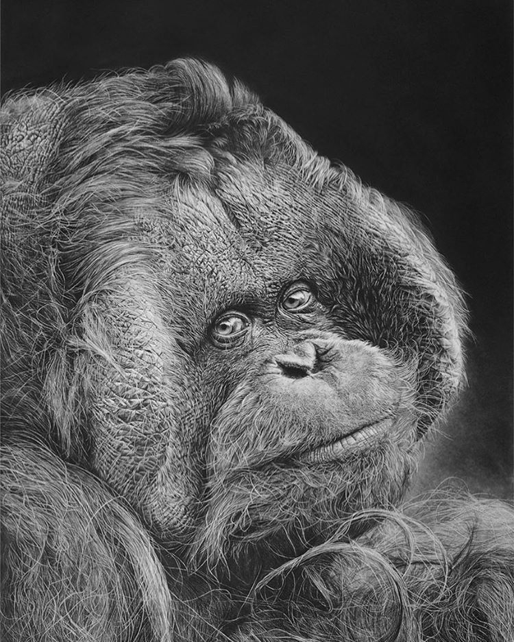 12-Kevin-the-Orangutan-Monica-Lee-zephyrxavier-Eclectic-Mixture-of-Pencil-Wild-Life-and-Portrait-Drawings-www-designstack-co