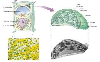 kloroplast, fotosintesis, klorofil,