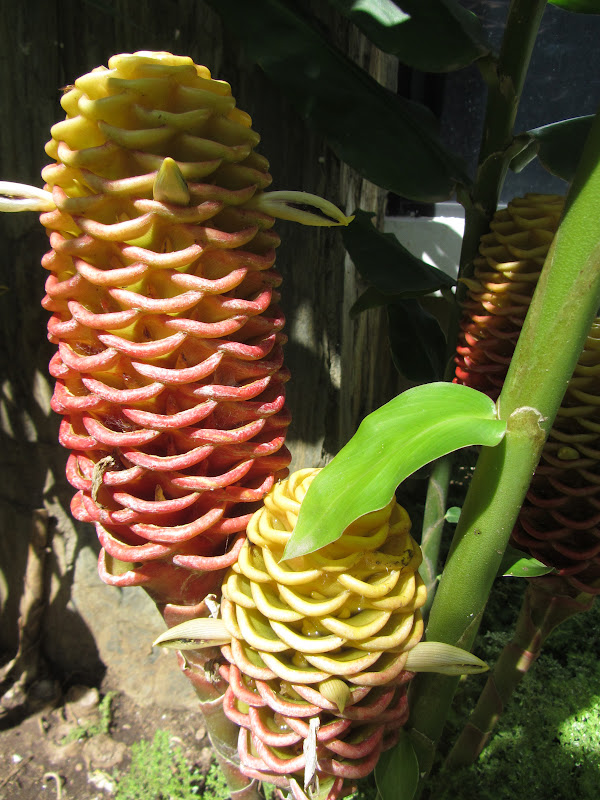 Small World...Big Family: Flower that looks like a Pine Cone