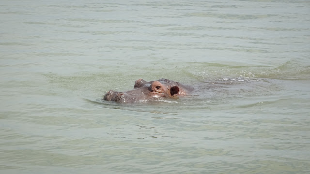 Lake Tanganyika in Bujumbura has many hippos