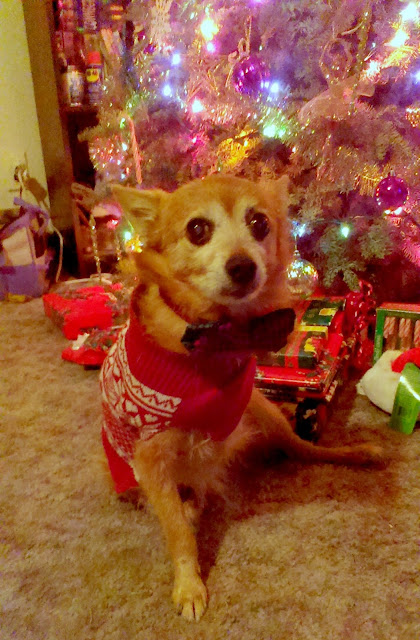 Three legged dog with red sweater and bow tie in front of Christmas tree
