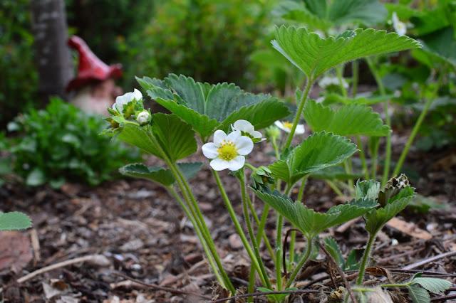 Ajo blanco ja puutarhan mansikat tontun vartioimana