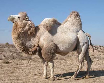 Animal Zoo Life Camel Camel Foot Camel Camel Pictures Of