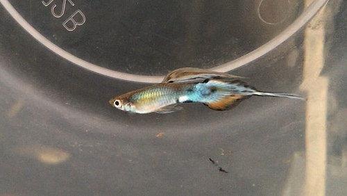 Gambar Dan Foto  Ikan Guppy Pintail