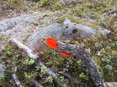 punakääpä, kivi, kallio