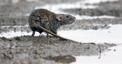 Μεσαίωνας: Κρούσματα λεπτοσπείρωσης στην Ειδομένη! - Ασθένεια που μεταφέρουν τα ποντίκια στους ανθρώπους