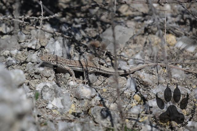 Espagne-aragon-steppes-la lomaza-acanthodactyle commun