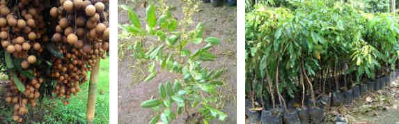 bibit unggul tanaman buah