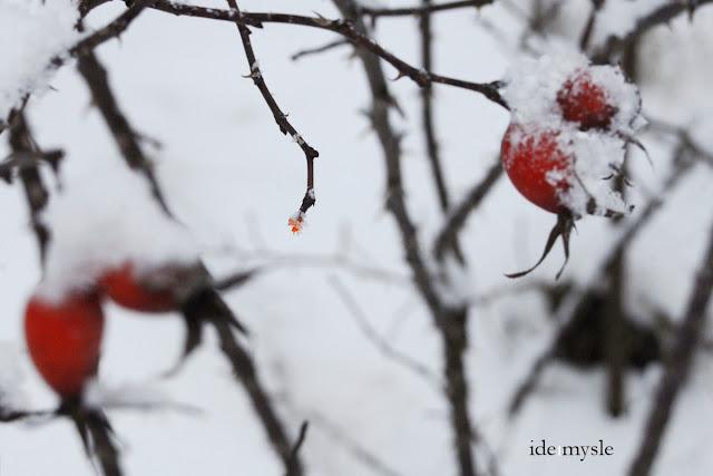 ptasia spiżarnia, rosa canina, dzika róża, czerwone owoce