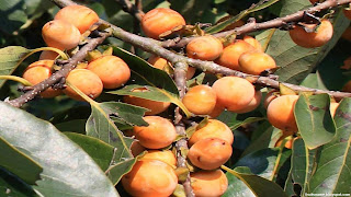 Date plum fruit images wallpaper