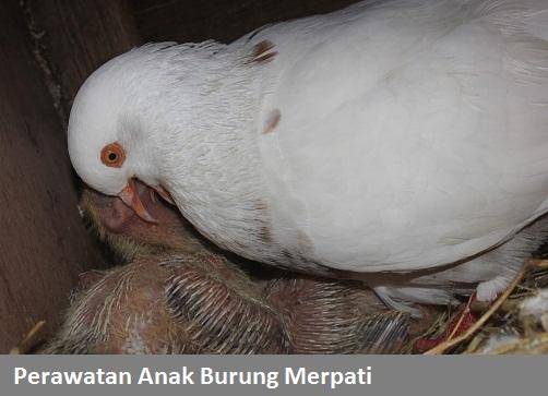 Perawatan Anakan Burung Merpati