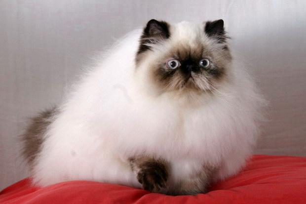 Γάτα Ιμαλαΐων και διαπλοκή…