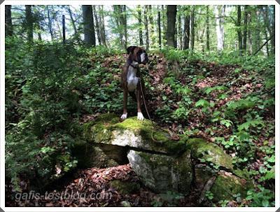 Boxer Amy im Wald stehend auf Gesteinsbrocken
