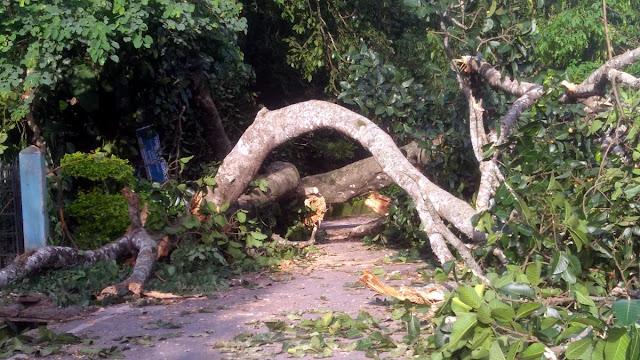 Fallen Banyan tree at mungpoo sano chowrastha