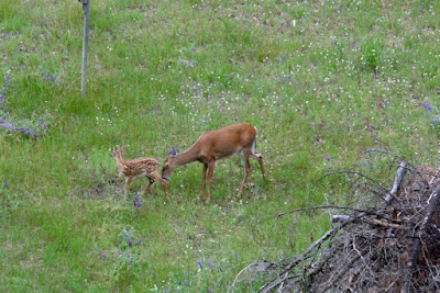 doe and fawn in wildflower field