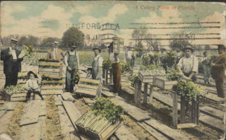 Colored period postcard shows workers in a celery field in Sanford.