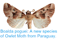 http://sciencythoughts.blogspot.co.uk/2017/06/boalda-poguei-new-species-of-owlet-moth.html
