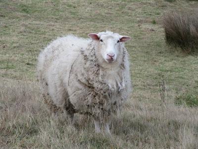 Típica oveja de Nueva Zelanda. Península de Otago