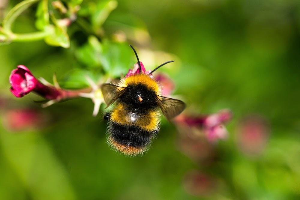 Bee sp (with mite) - Great Holm, Milton Keynes