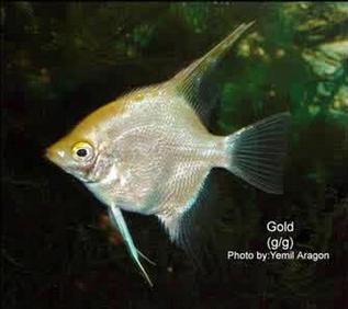 Inilah Jenis-Jenis Ikan Manfish/(Angelfish) Gold