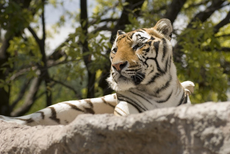 vista de un tigre dentro del zoológico Parque Loro
