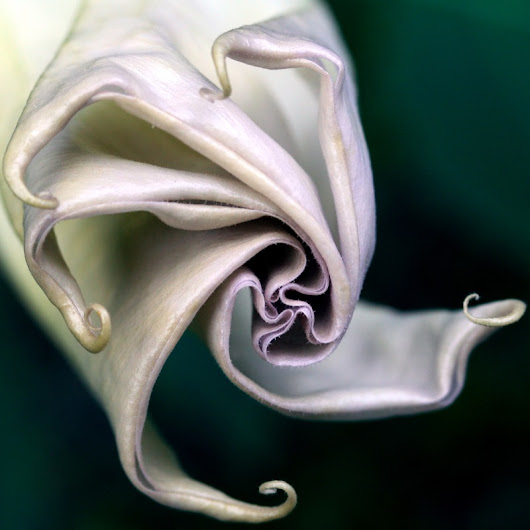 datura unfolds ...