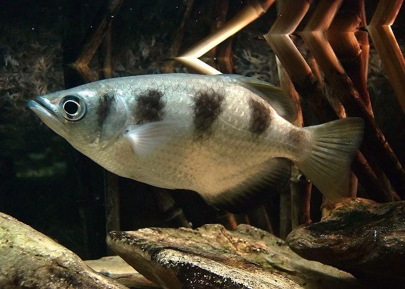 Gambar Ikan Hias Air Payau-Banded archerfish