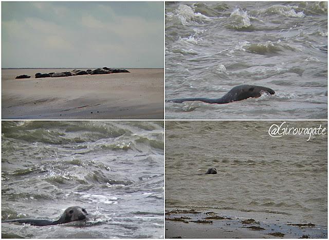 colonia foche baia della somme