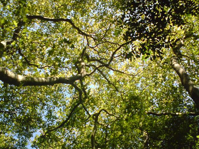 Árvore gimnosperma vista de baixo pra cima