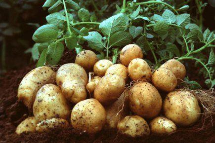 اهم طرق زراعة البطاطس 81145134_o