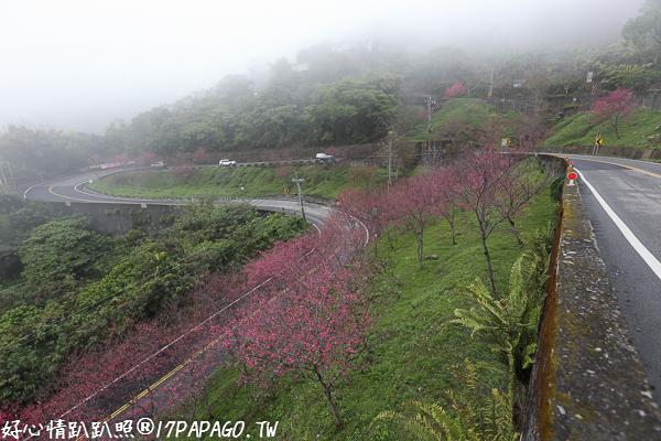 《台中.新社》新社興和產業道路的連續彎路櫻花林,路旁轉角的櫻花之美