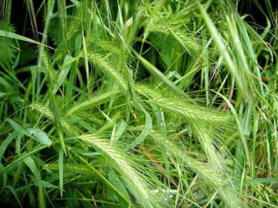 Biljka Popino prase - izgled