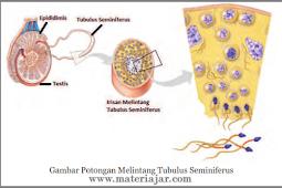 Pengertian Spermatogenesis Dan Proses Pembentukannya