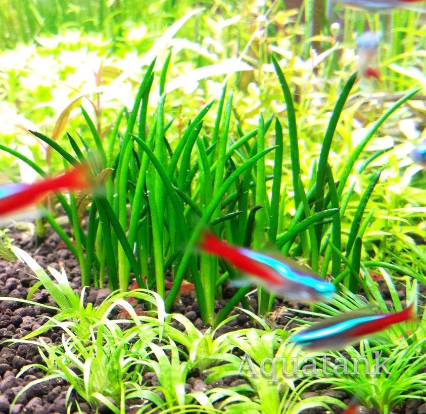 Màu xanh bắt mắt của cây thủy sinh cỏ ống