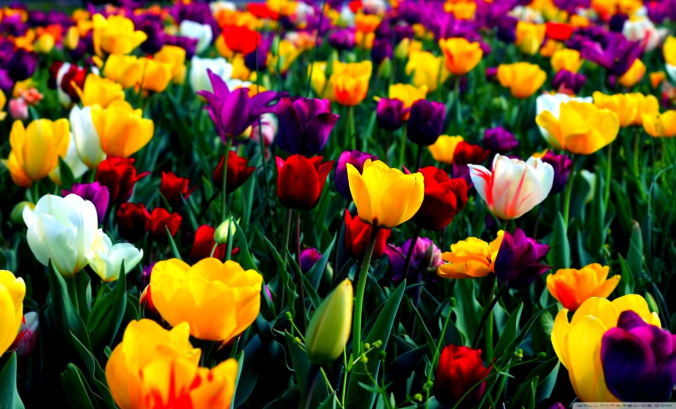 Beautiful Flowers Colorful Wallpaper Desktop Hd Wallpapers
