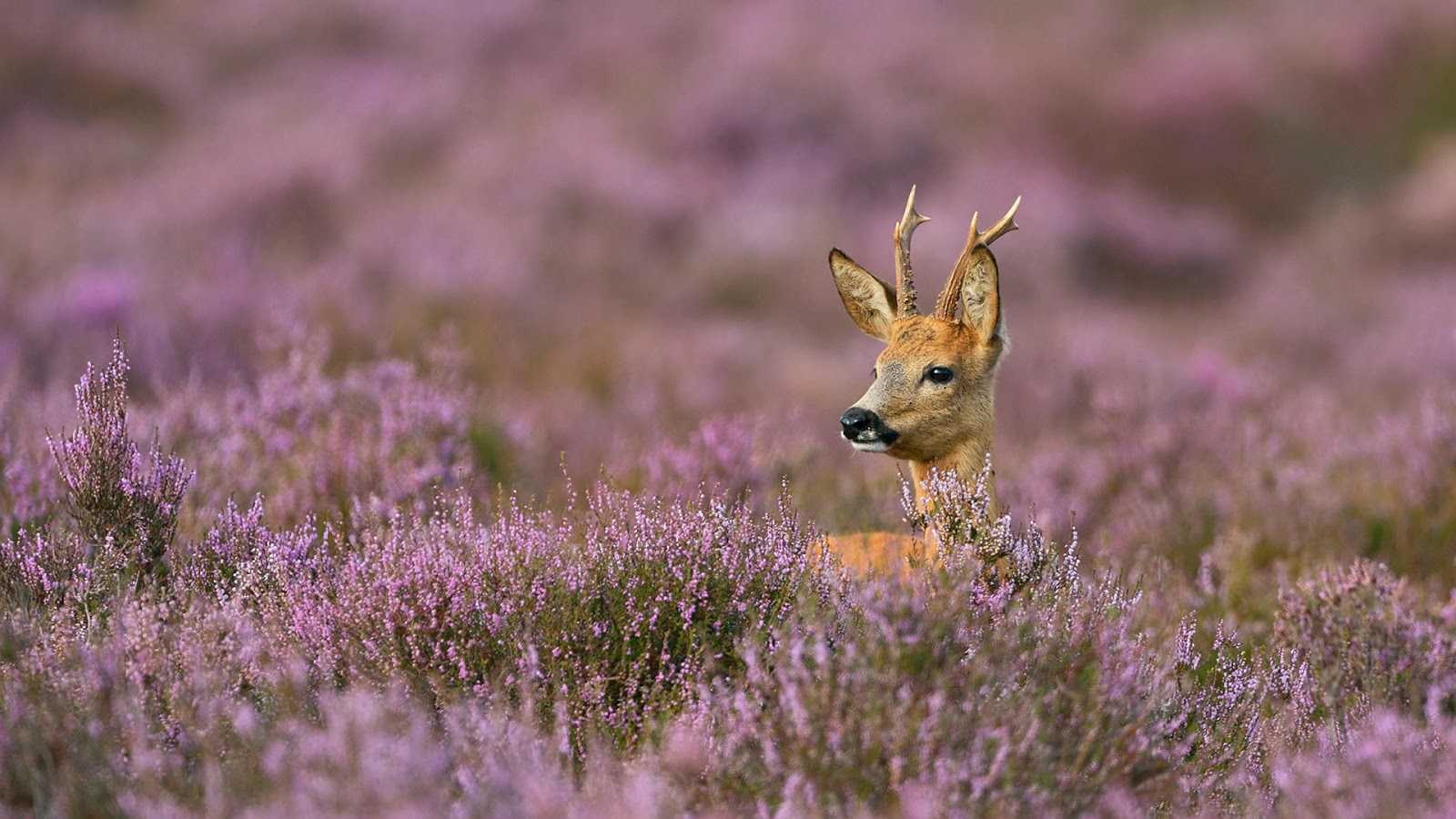 Male roe deer surrounded by heather © wonderful-Earth.net/Alamy Stock Photo