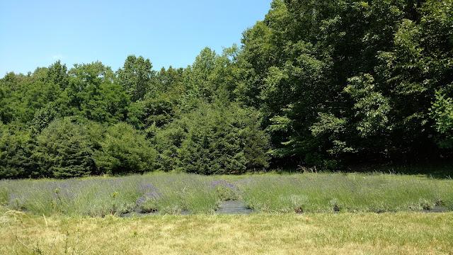 Лаванда.(Pleasant Valley Lavender Farm, Morganville, NJ)