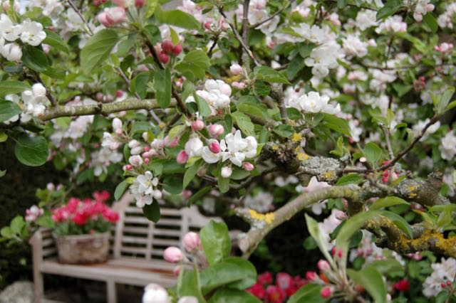 apple blossom, bench