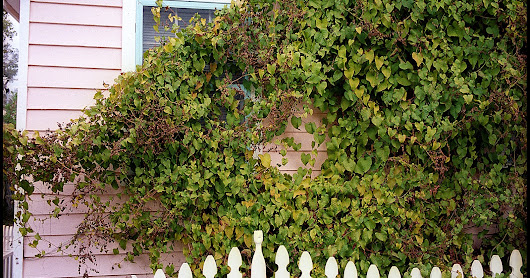 Pink House with Vines