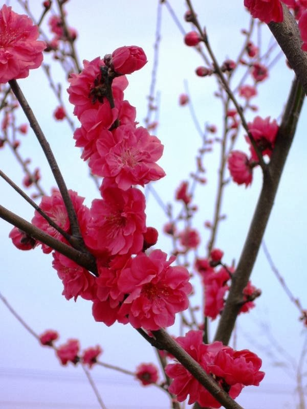 hình ảnh hoa đào ngày Tết