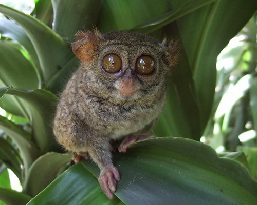 Tinuku.com Travel Nimanga river rafting in Minahasa has ripple grades 3-6 if lucky watch Tarsius tarsier and Macaca nigra