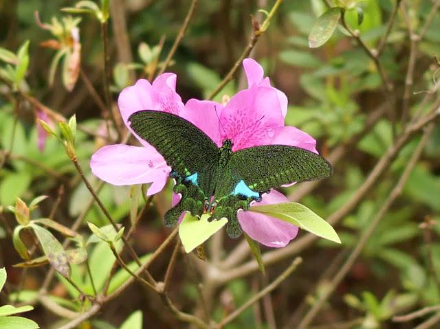 Paris peacock swallowtail butterfly in Wuzhou, China